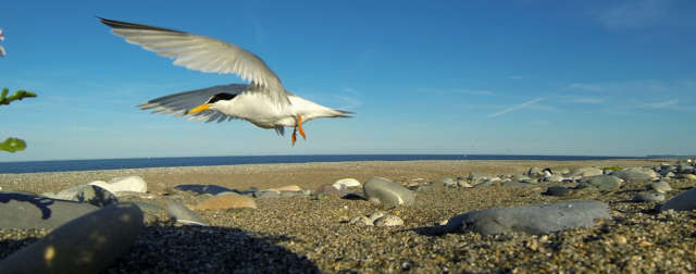The Baltray Little Terns Conservation Scheme Banner Photo